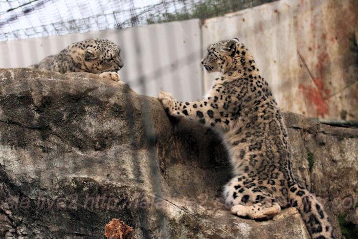 Snowleopard20140203asahi2