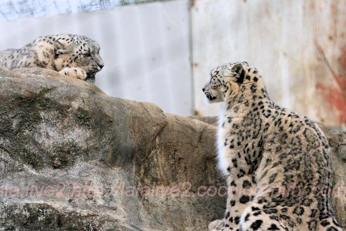 Snowleopard20140203asahi3