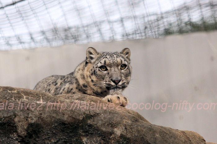 Snowleopard20140203asahi4