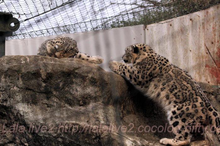 Snowleopard20140203asahi_2