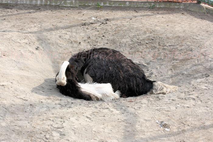 Ostrich20140203