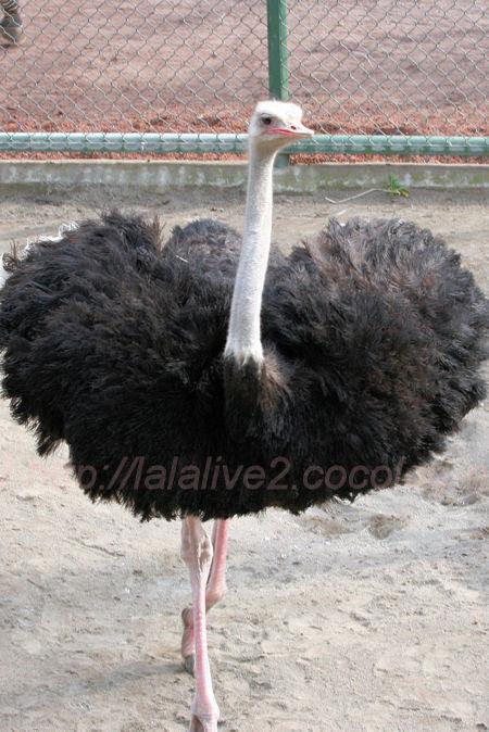 Ostrich201402032