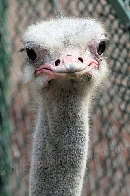 Ostrich201402033