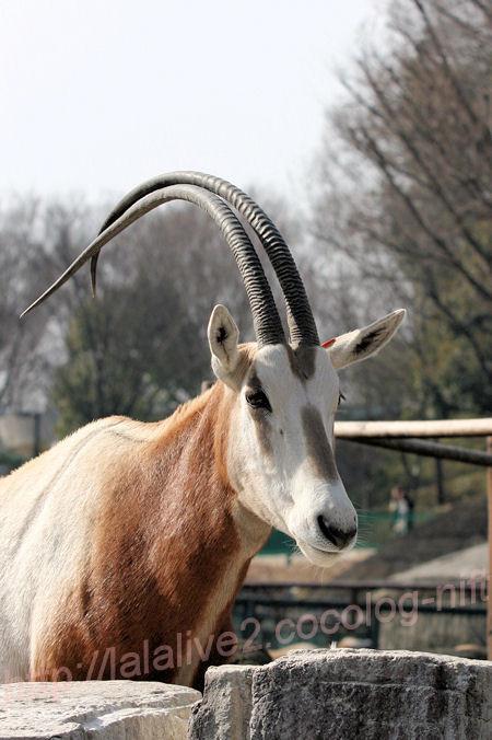 White_oryx20140203