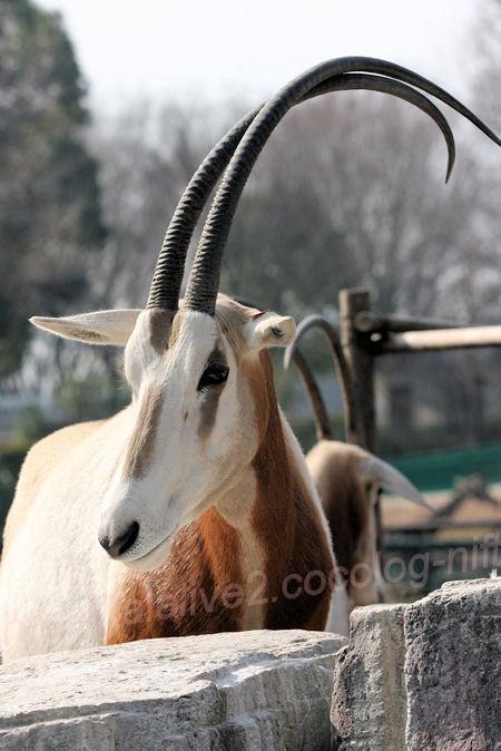 White_oryx201402031