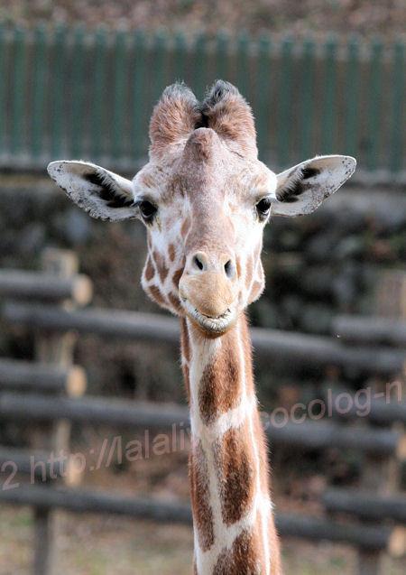 Giraffe20140203