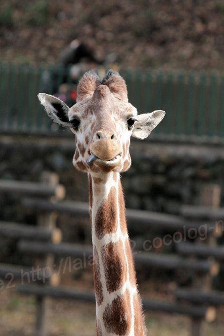 Giraffe201402032