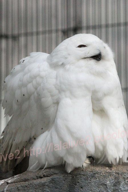 Whiteowl1