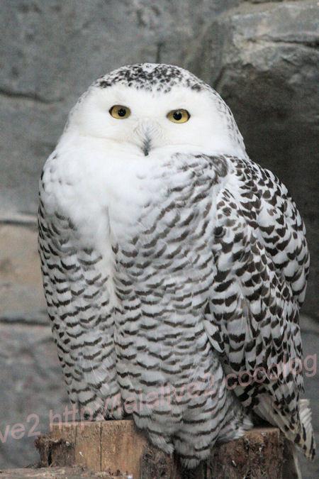 Whiteowl2