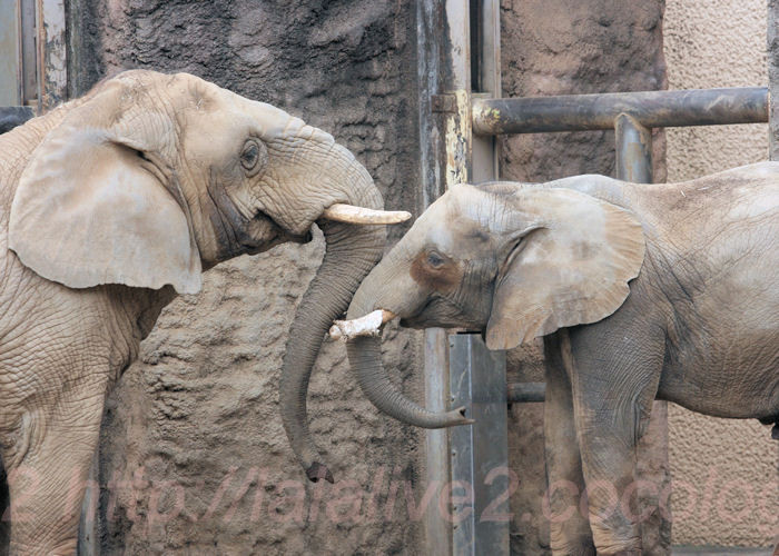 Elephant201402032