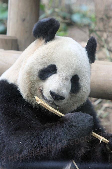 Pandasinsin