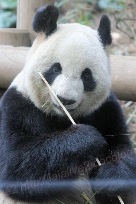 Pandasinsin1