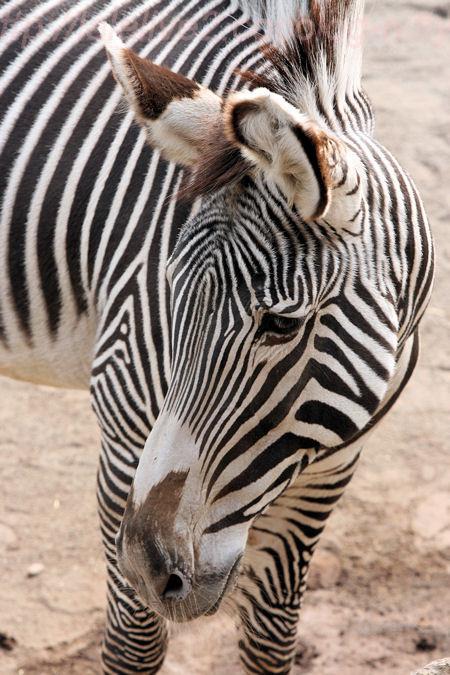 Zebra201402032