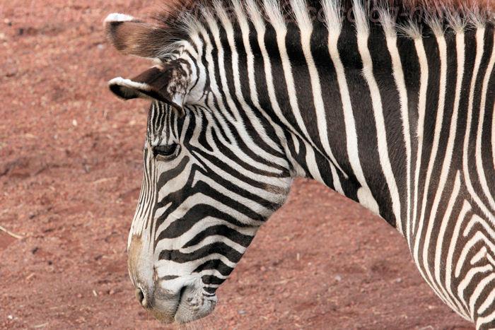 Zebra20140203_2