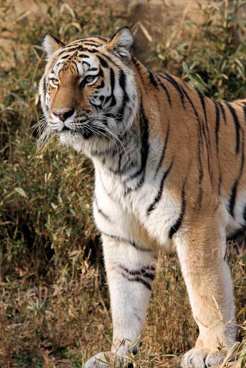Tiger20140203