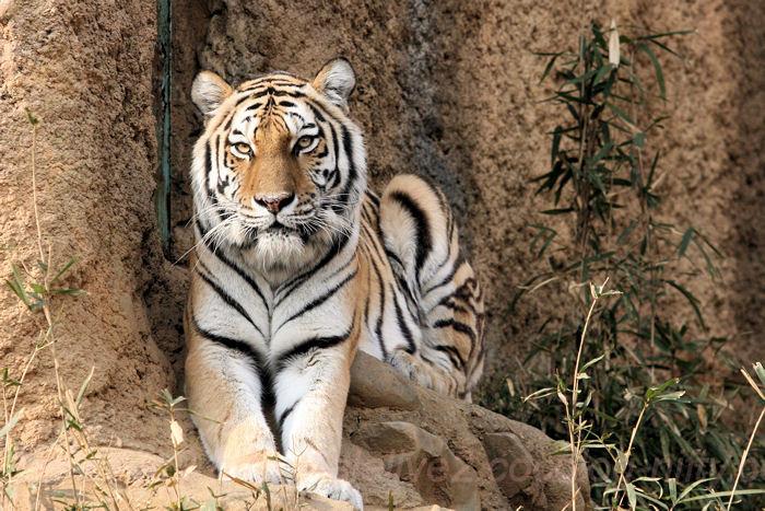 Tiger201402031