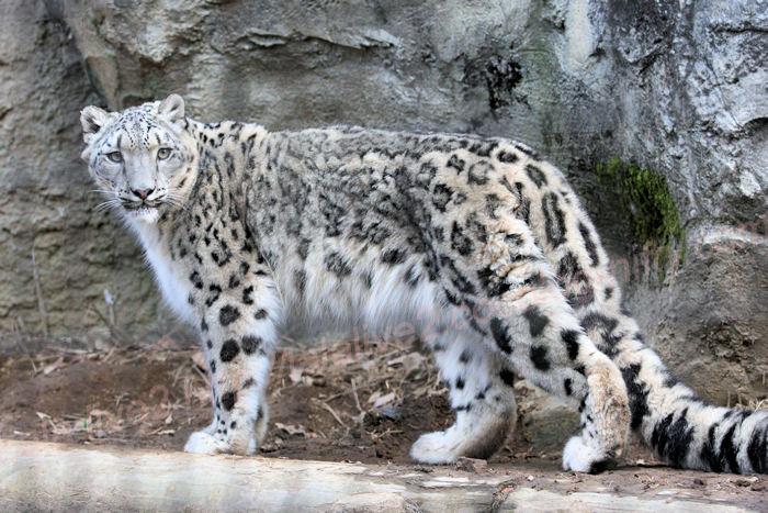 Snowleopardena20140203