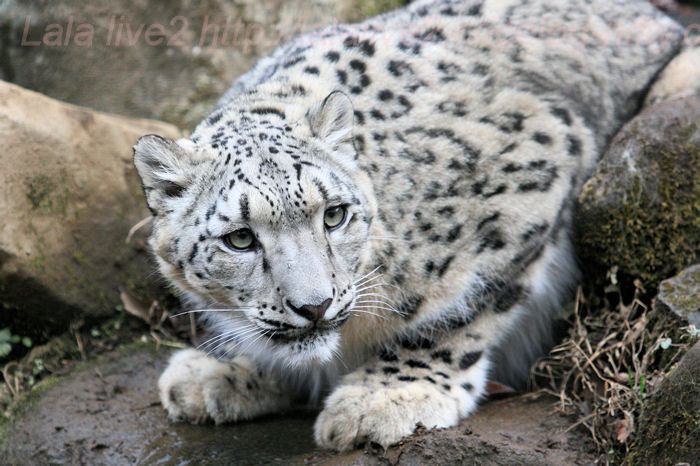 Snowleopardena201402031