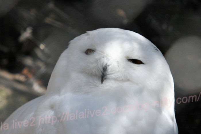 Whiteowl201403241