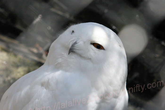 Whiteowl201403242