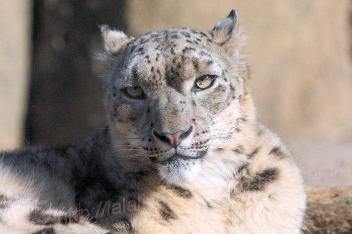 Snowleopard_mirucha20140324