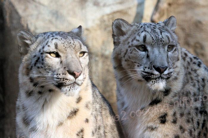 Snowleopardsisters201403241