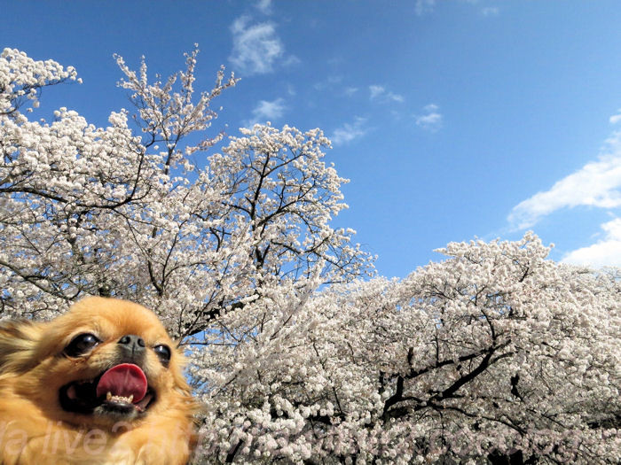 Sakura201404051