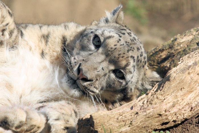 Snowleopard20140324