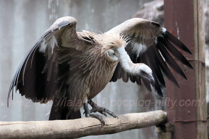 African_whitebacked_vulture201402_2