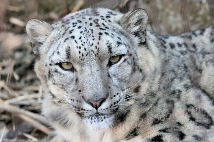 Snowleopardasahi20140324