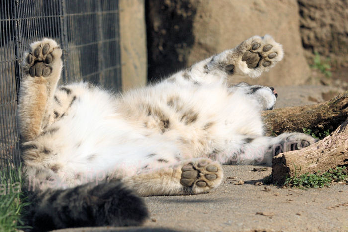 Snowleopard_mirucha201403242