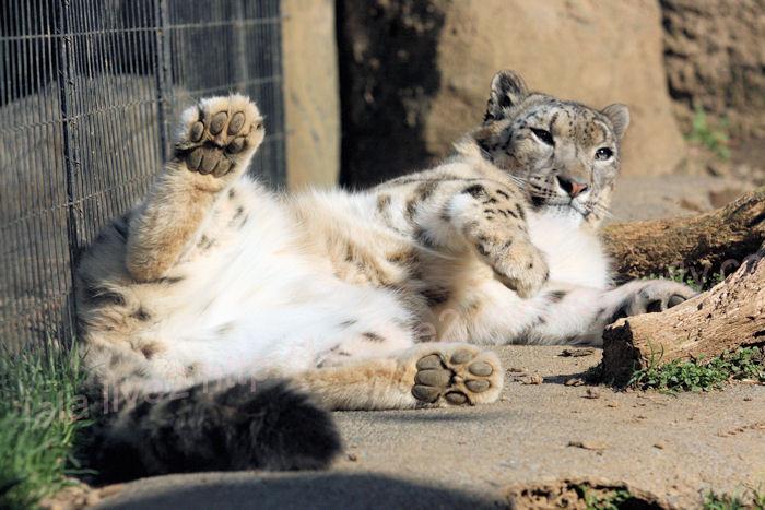 Snowleopard_mirucha201403243