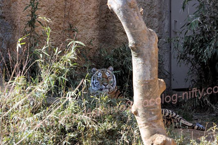 Tiger20140324