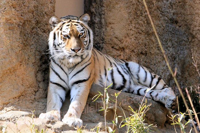 Tiger201403241
