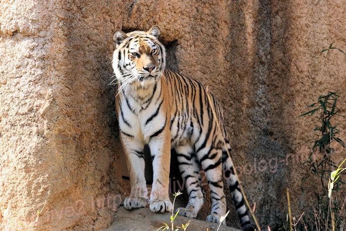 Tiger201403242