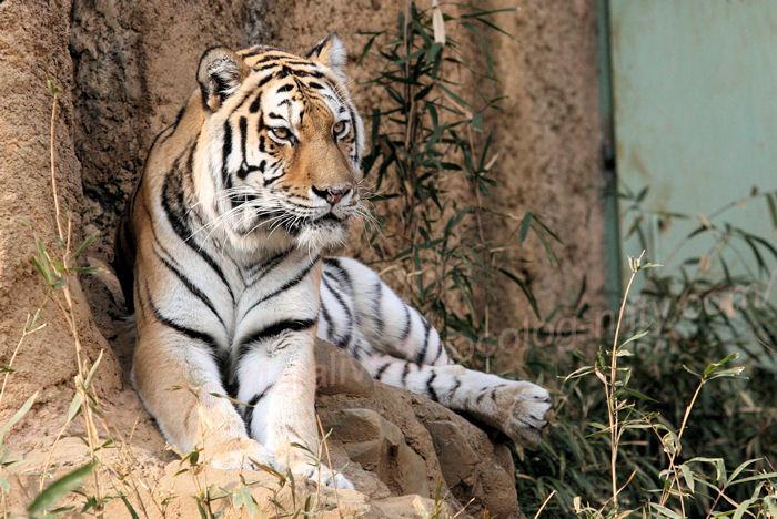 Tiger201402032