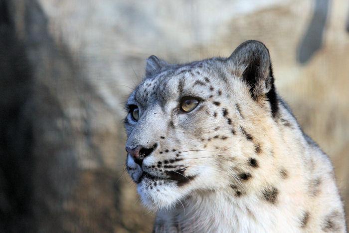 Snowleopard201403243