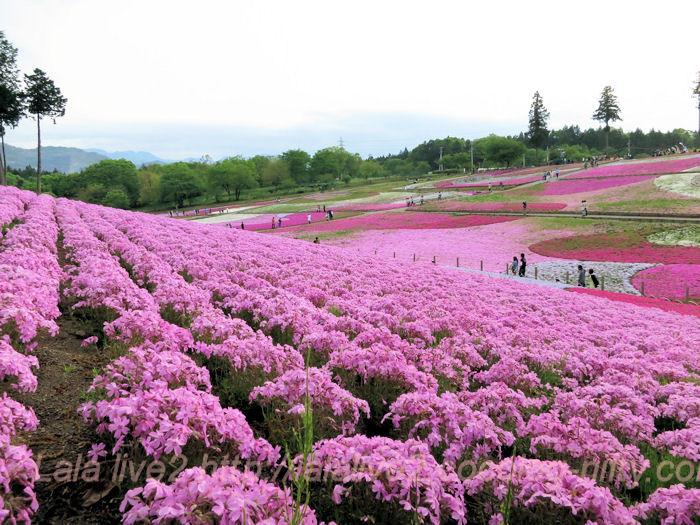 Flower_festival201405062