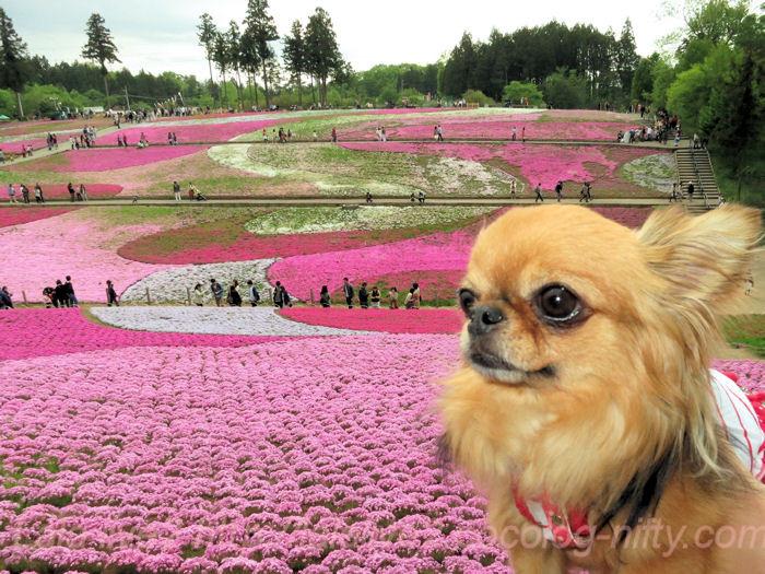 Flower_festival20140506_2