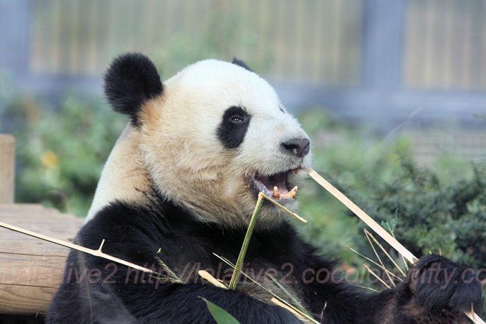 Giantpanda20140206