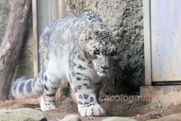 Snowleopards20140203