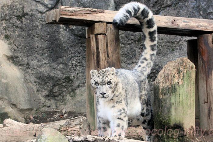 Snowleopards201402031