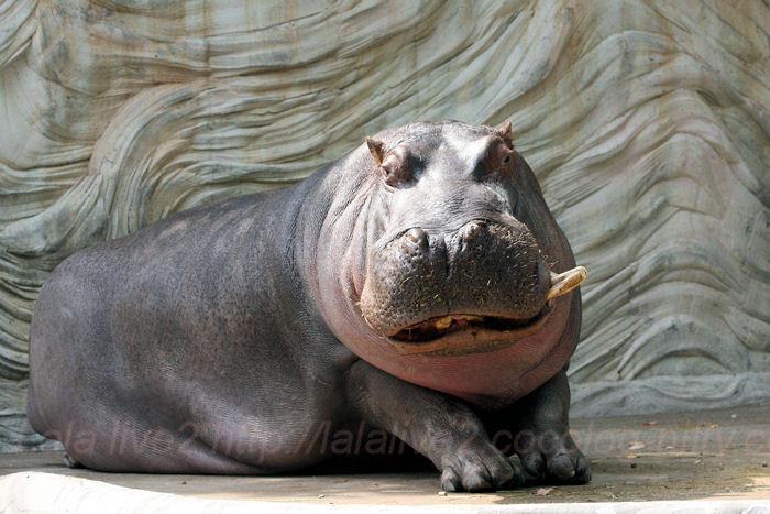 Hippo201405232