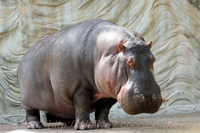Hippo201405233