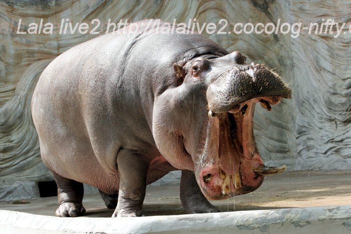 Hippo201405234
