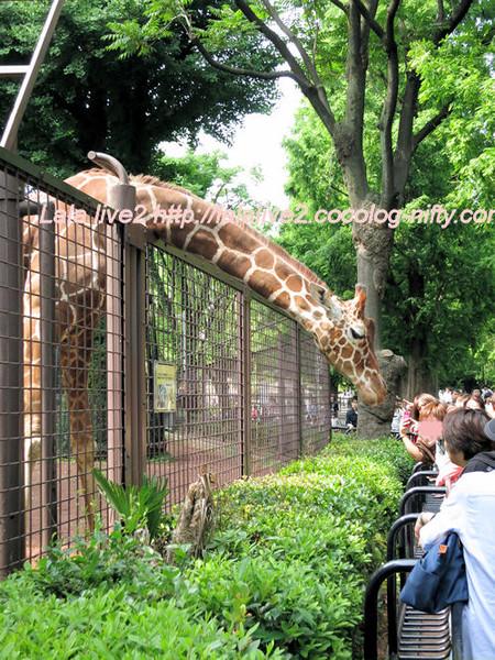 Giraffe201405231