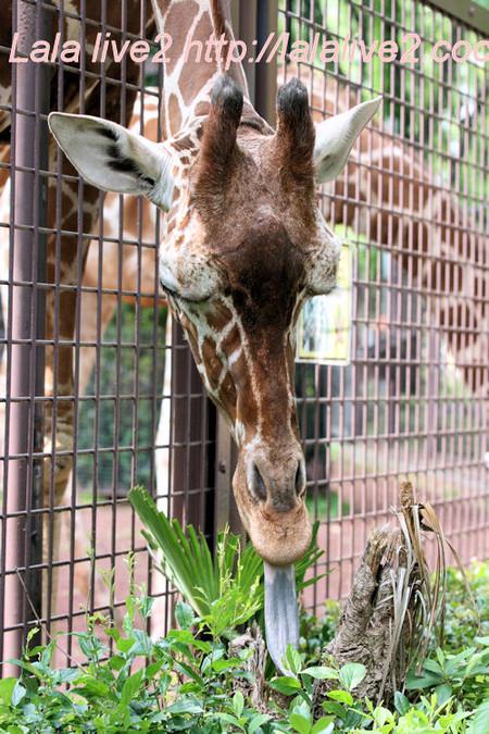 Giraffe201405232