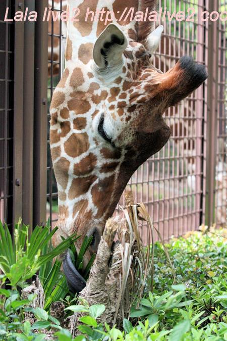 Giraffe201405233
