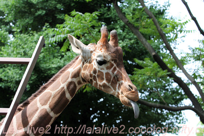Giraffe201405234