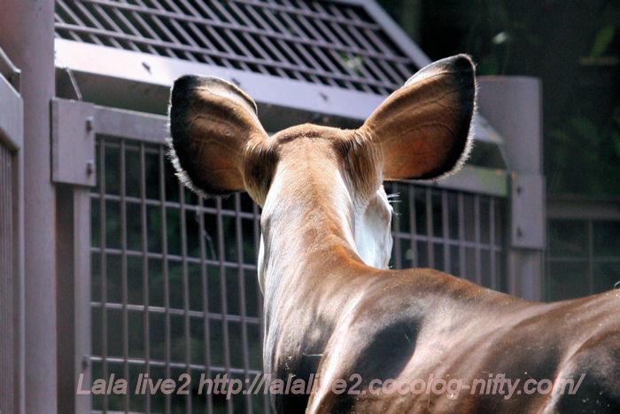Okapi20140523